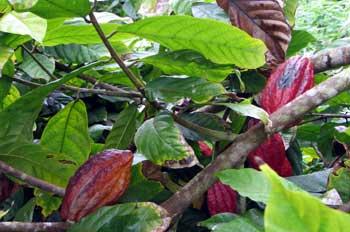 20110510101841-cacao.jpg